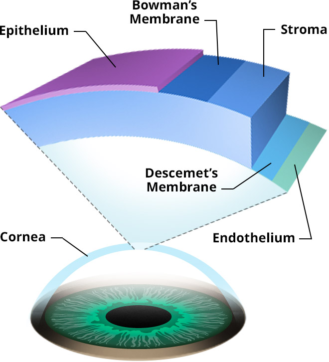 on the surface of the eye is a transparent flexible covering called the cornea Question 5 points 10 out of 10 on the surface of the eye is a transparent from bio 101 at md university college flexible covering called the cornea.