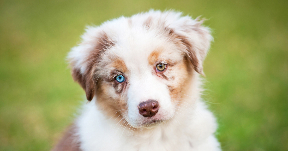 Heterochromia Two Different Colored Eyes Allaboutvision