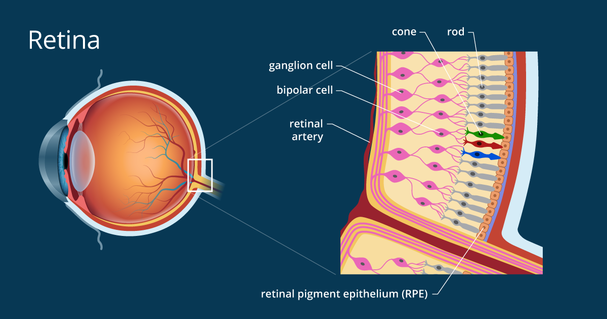 Retina of the Eye - Definition and Detailed Illustration | English ...