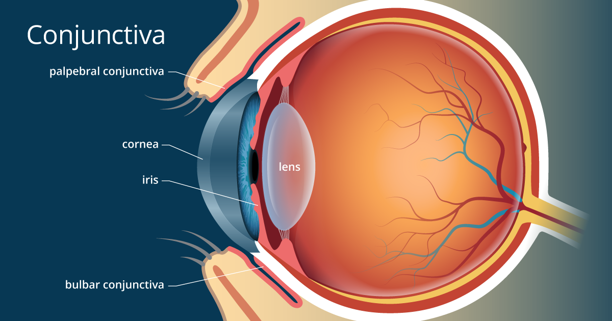 Conjunctiva Definition And Detailed Illustration