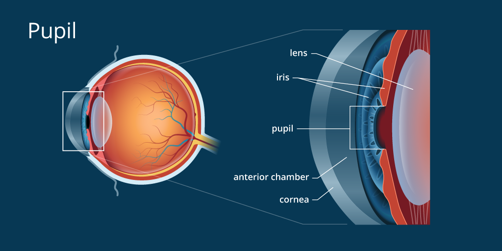 the pupil In medicine, the pupillary reflex or pupillary light reflex, is the reduction of pupil size in response to light it is a normal response and dependent on the function of the optic nerves and oculomotor nerves.