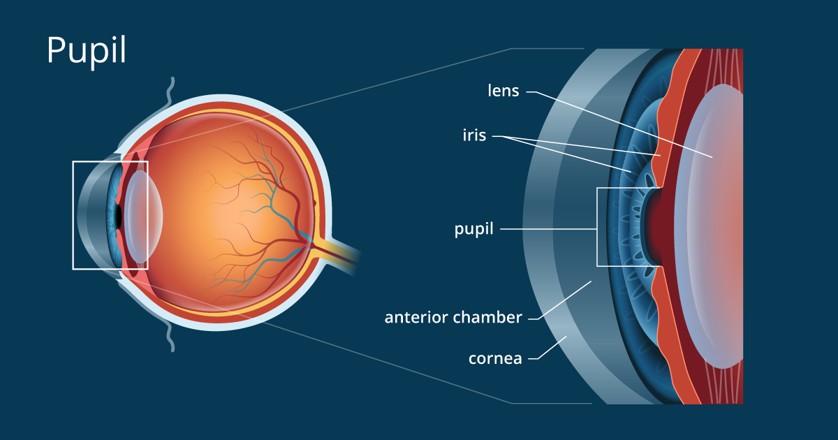 d5e100f3f1 Pupil - Definition and Detailed Illustration