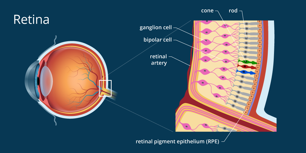 Retina Definition And Detailed Illustration